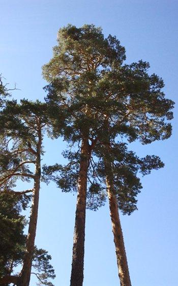 Ejemplares de pino silvestre