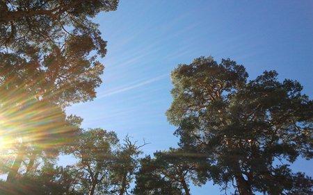Pinos silvestres, también conocidos como pinos de Valsaín