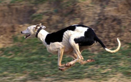 galgo-corriendo